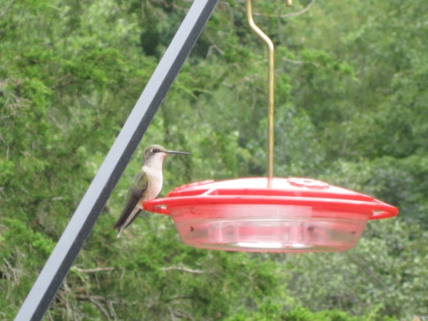Hummingbirds and Butterflies 2011 006